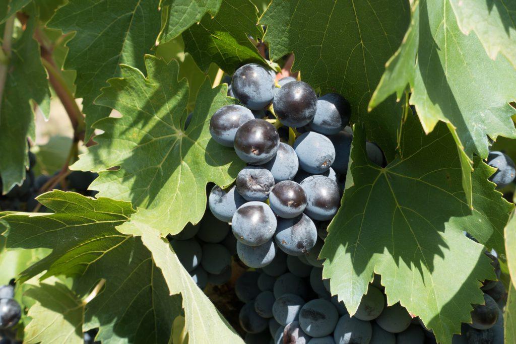 Toscaanse druiven