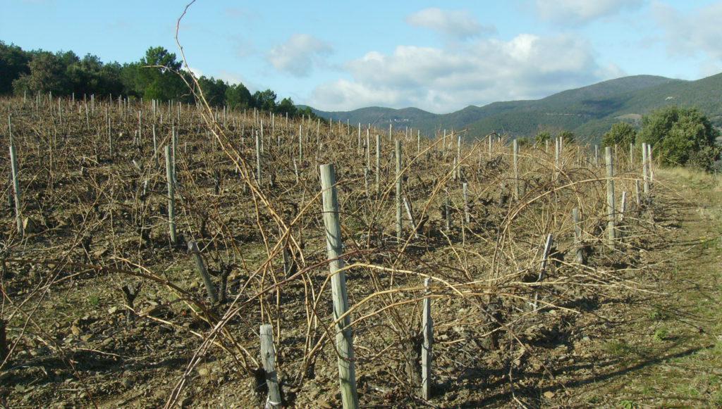De wijngaarden net voor de snoei